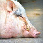 「豚コレラ」へのワクチン投与を嫌がる背景を知るキーワードは「清浄国」!?